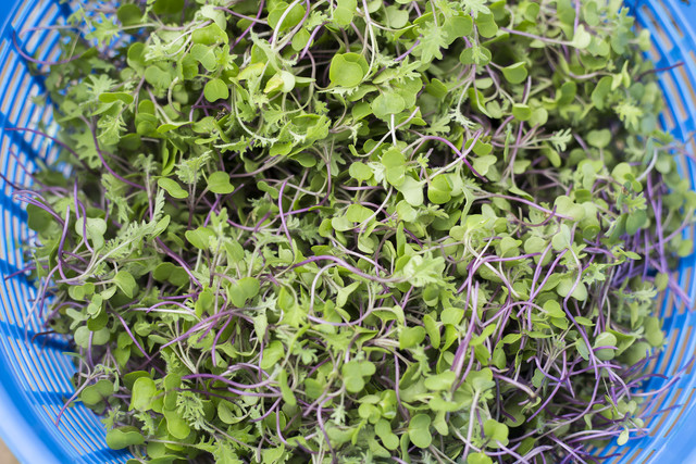 microgreens in a colander from aluma farms