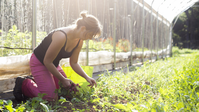 Woman in pink pants and a black shirt picking pink radishes in field at Hungry Heart Farm.