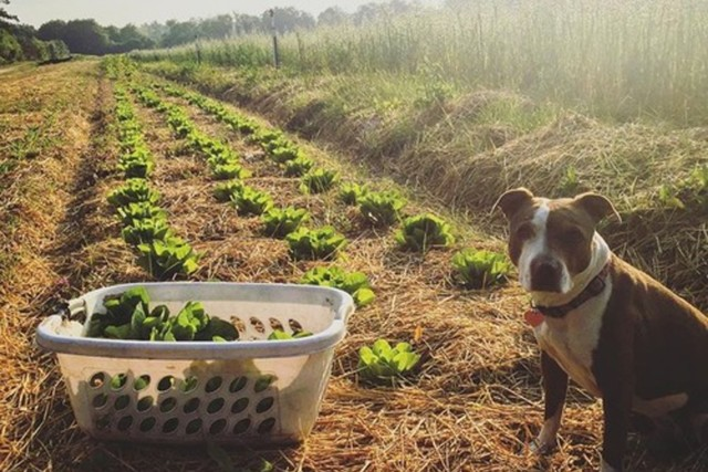 Dog next to laundry basket of harvested lettuce on farm